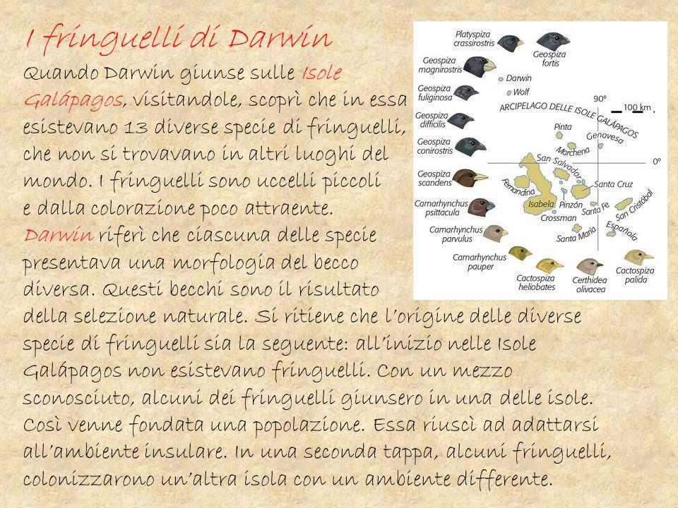 I fringuelli di Darwin Quando Darwin giunse sulle Isole Galápagos, visitandole, scoprì che in essa esistevano 13 diverse specie di fringuelli, che non