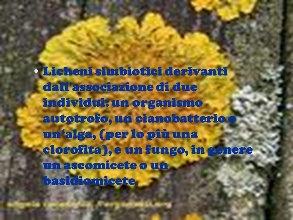 Licheni simbiotici derivanti dall associazione di due individui: un organismo autotrofo, un cianobatterio o un'alga, (per lo più una clorofita), e un fungo, in genere un ascomicete o un basidiomicete.