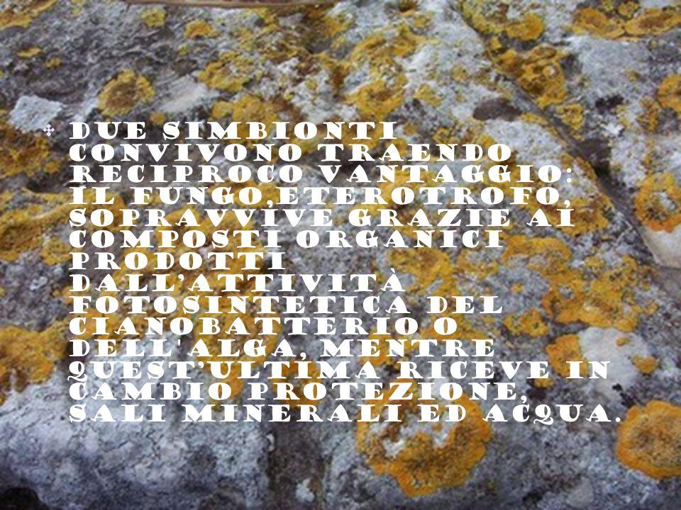 due simbionti convivono traendo reciproco vantaggio: il fungo,eterotrofo, sopravvive grazie ai composti organici prodotti dall'attività fotosintetica del cianobatterio o dell alga, mentre quest'ultima riceve in cambio protezione, sali minerali ed acqua.