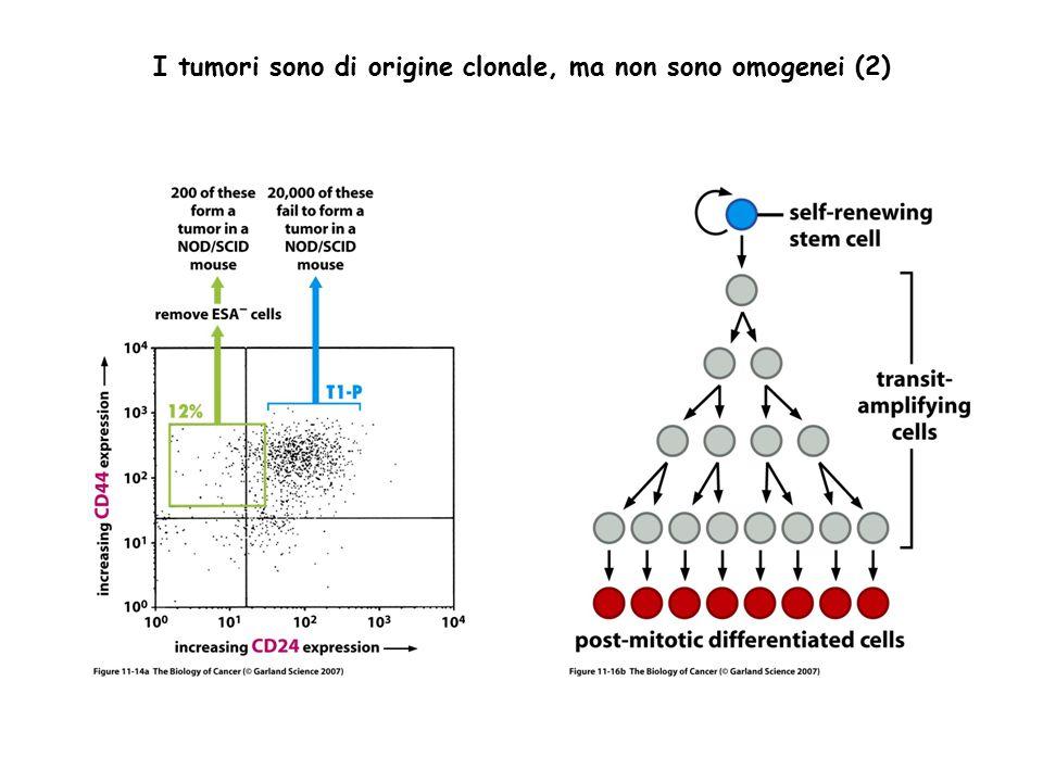I tumori sono di origine clonale, ma non sono omogenei (2)