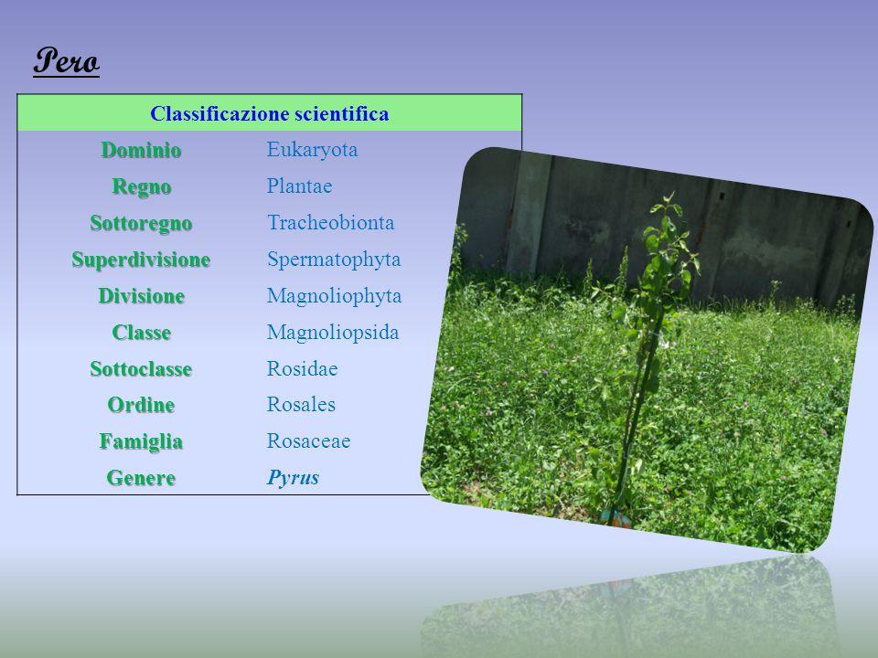 Classificazione scientificaDominioEukaryota RegnoPlantae SottoregnoTracheobionta SuperdivisioneSpermatophyta DivisioneMagnoliophyta ClasseMagnoliopsid