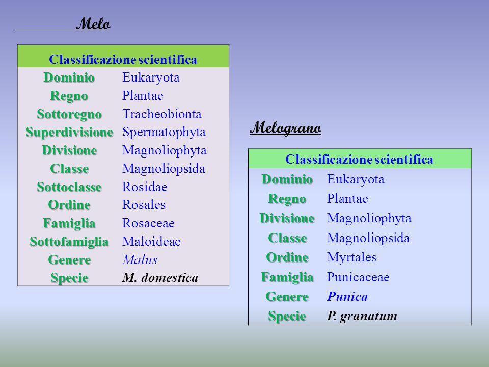 Classificazione scientifica DominioEukaryota RegnoPlantae SottoregnoTracheobionta SuperdivisioneSpermatophyta DivisioneMagnoliophyta ClasseMagnoliopsi
