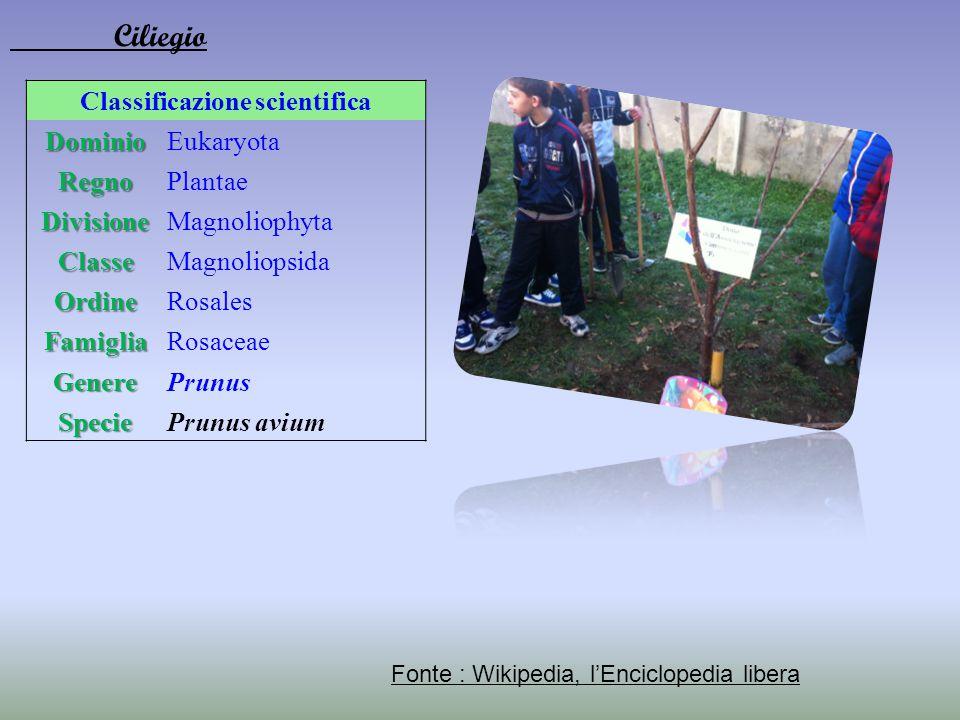 Classificazione scientificaDominioEukaryota RegnoPlantae DivisioneMagnoliophyta ClasseMagnoliopsida OrdineRosales FamigliaRosaceae GenerePrunus Specie