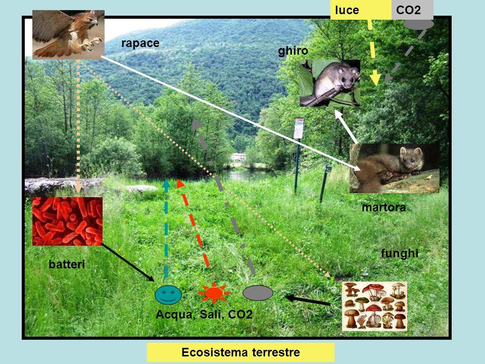 Ecosistema marino Produttore:fitoplancton, alghe assumono CO2, H2O, energia solare, Sali minerali producono glucidi, lipidi, protidi, vitamine, ossigeno Consumatore primario: zooplancton: si nutre di fitoplancton Consumatore secondario:pesci vari ( sardine, acciughe, arringhe..) si nutrono dello zooplancton,alghe Consumatore terziario: squali, orca: si nutrono di pesci vari Decompositori : batteri : utilizzano resti di animali e vegetali morti e liberano CO2, H2O, Sali minerali che rientrano nel ciclo dei produttori