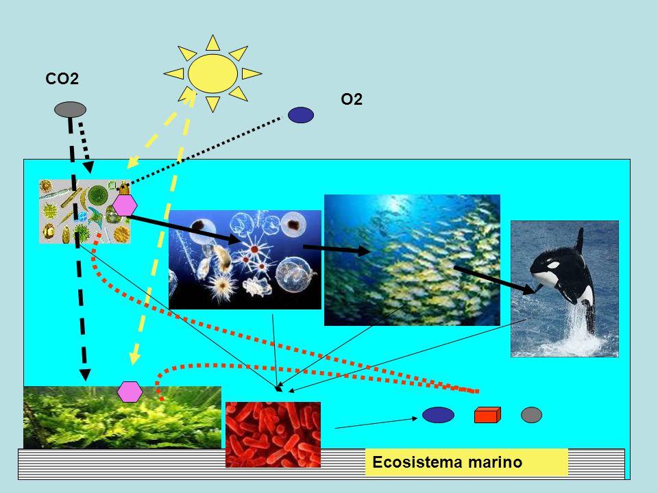 CO2 Ecosistema marino O2 Fotosintesi clorofilliana Zooplancton consuma fitoplancton Pesci consumano zooplancton Orca consuma pesci Batteri consumano residui di morti Riciclaggio verso fitoplancton, alghe