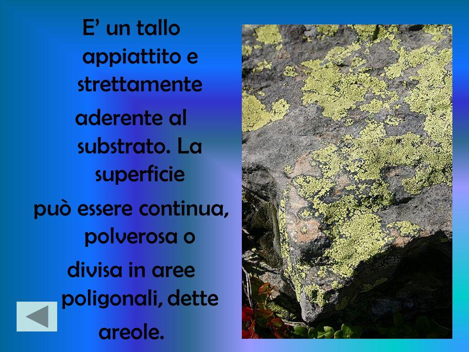 E' un tallo appiattito e strettamente aderente al substrato. La superficie può essere continua, polverosa o divisa in aree poligonali, dette areole.