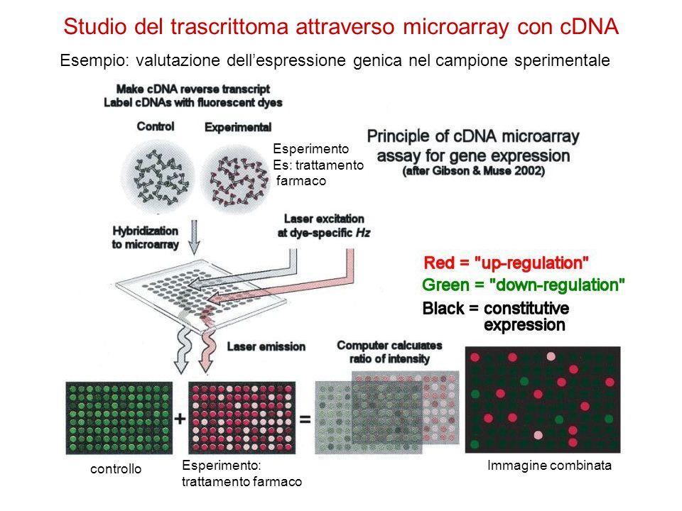 Studio del trascrittoma attraverso microarray con cDNA controllo Esperimento: trattamento farmaco Esempio: valutazione dell'espressione genica nel cam