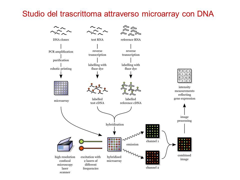 Studio del trascrittoma attraverso chip DNA Microarray ad alta densità con oligo sintetizzati in superficie (1 milione/cm 2 ); Uno o più oligo corrispondono ad un DNA espresso