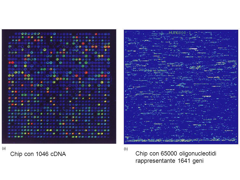 Chip con 1046 cDNA Chip con 65000 oligonucleotidi rappresentante 1641 geni
