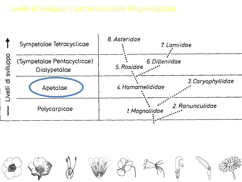 Livelli di sviluppo e sottoclassi delle Magnoliopsida