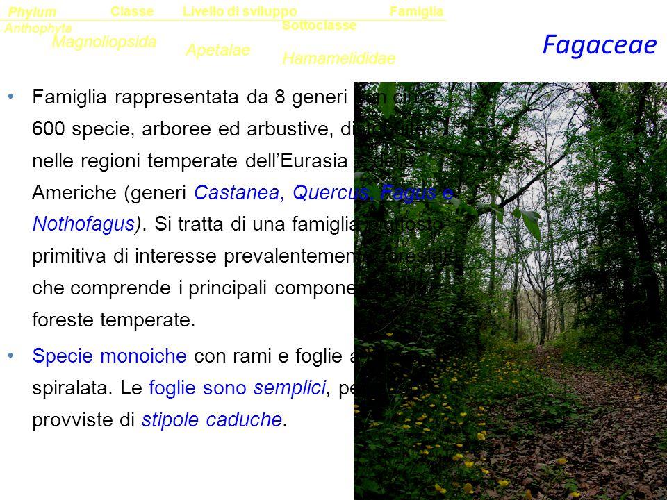 Fagaceae Sottoclasse ClassePhylumFamiglia Anthophyta Magnoliopsida Hamamelididae Livello di sviluppo Apetalae Famiglia rappresentata da 8 generi con c
