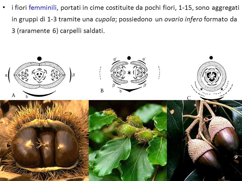 i fiori femminili, portati in cime costituite da pochi fiori, 1-15, sono aggregati in gruppi di 1-3 tramite una cupola; possiedono un ovario infero fo