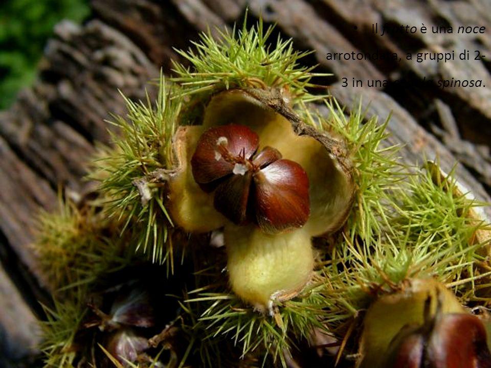 Il frutto è una noce arrotondata, a gruppi di 2- 3 in una cupola spinosa.