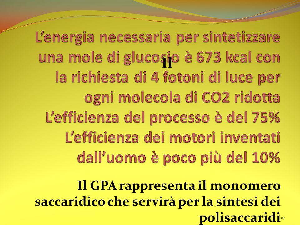 Il GPA rappresenta il monomero saccaridico che servirà per la sintesi dei polisaccaridi 10 Il