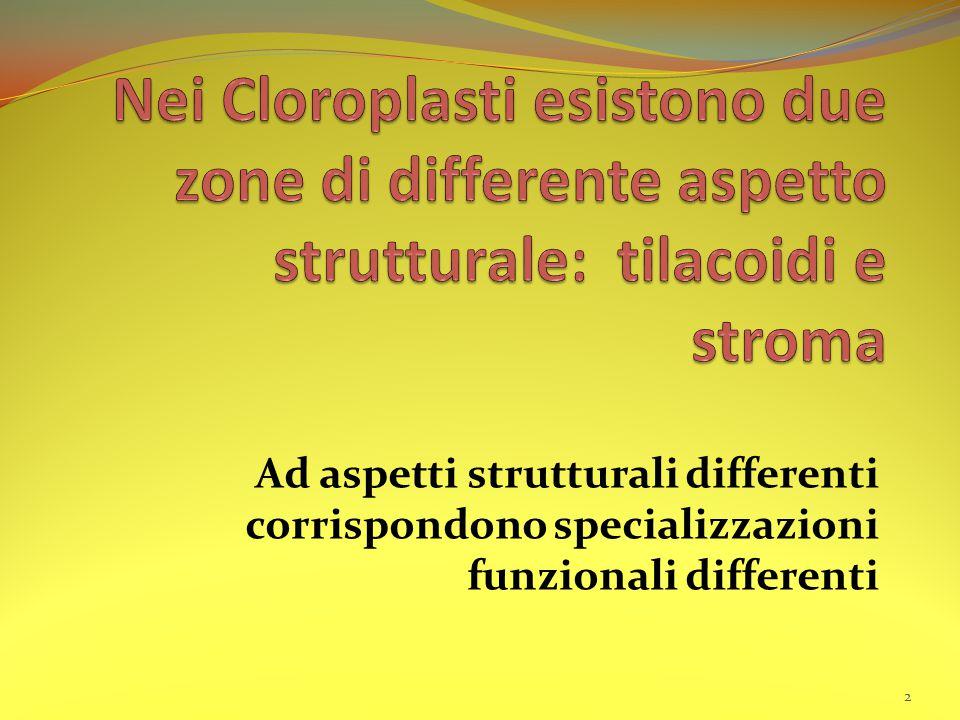 Ad aspetti strutturali differenti corrispondono specializzazioni funzionali differenti 2