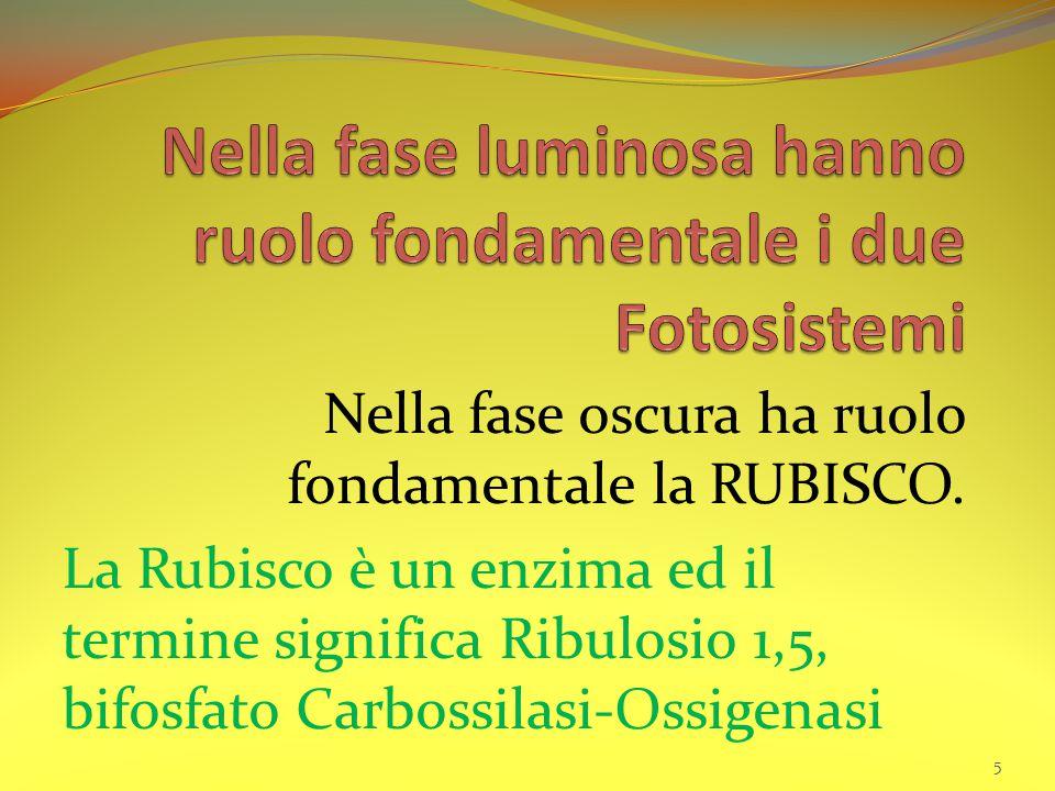 Nella fase oscura ha ruolo fondamentale la RUBISCO. La Rubisco è un enzima ed il termine significa Ribulosio 1,5, bifosfato Carbossilasi-Ossigenasi 5