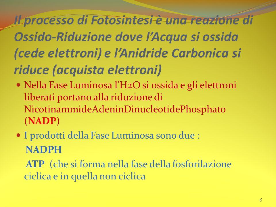 Il processo di Fotosintesi è una reazione di Ossido-Riduzione dove l'Acqua si ossida (cede elettroni) e l'Anidride Carbonica si riduce (acquista elettroni) Nella Fase Luminosa l'H2O si ossida e gli elettroni liberati portano alla riduzione di NicotinammideAdeninDinucleotidePhosphato (NADP) I prodotti della Fase Luminosa sono due : NADPH ATP (che si forma nella fase della fosforilazione ciclica e in quella non ciclica 6