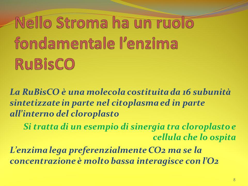 La RuBisCO è una molecola costituita da 16 subunità sintetizzate in parte nel citoplasma ed in parte all'interno del cloroplasto Si tratta di un esemp