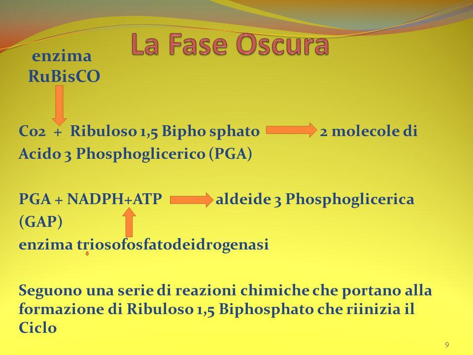 Co2 + Ribuloso 1,5 Bipho sphato 2 molecole di Acido 3 Phosphoglicerico (PGA) PGA + NADPH+ATP aldeide 3 Phosphoglicerica (GAP) enzima triosofosfatodeidrogenasi Seguono una serie di reazioni chimiche che portano alla formazione di Ribuloso 1,5 Biphosphato che riinizia il Ciclo 9 enzima RuBisCO