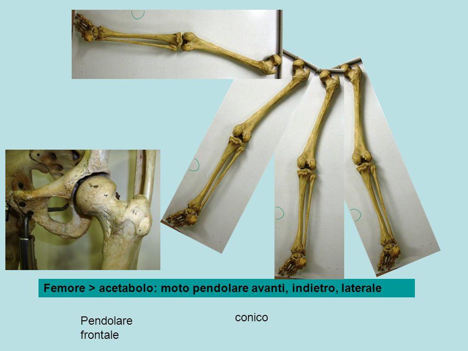 Pendolare frontale conico Femore > acetabolo: moto pendolare avanti, indietro, laterale