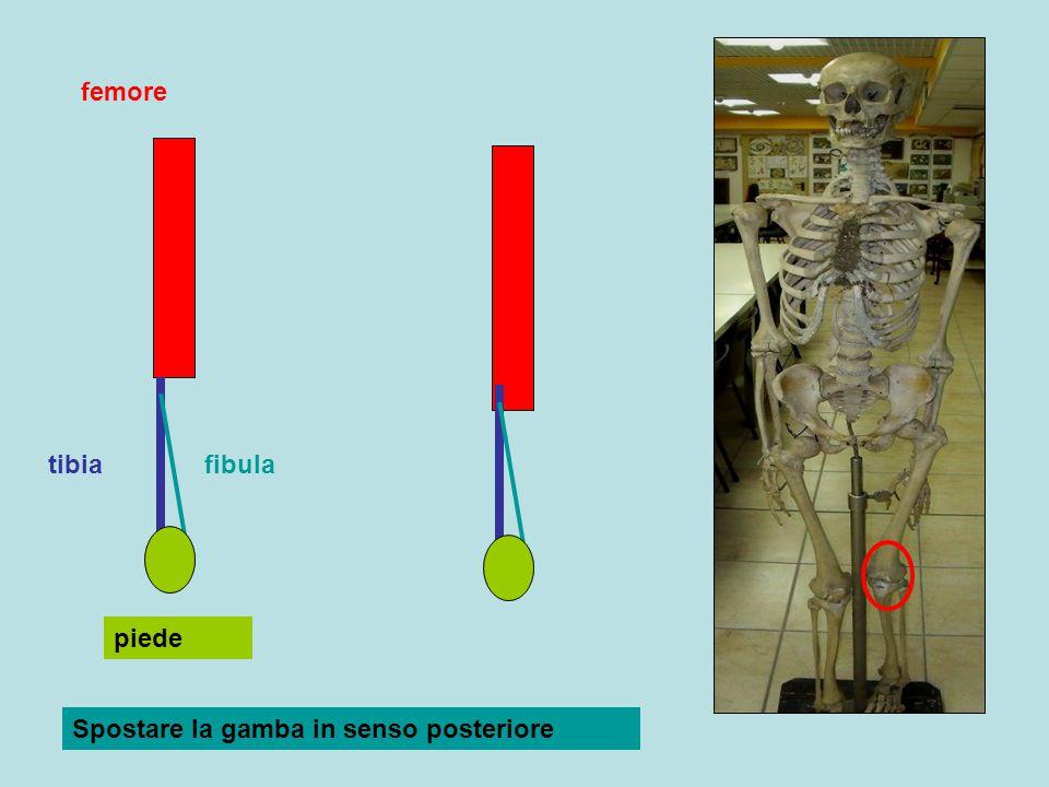 femore tibiafibula piede Spostare la gamba in senso posteriore