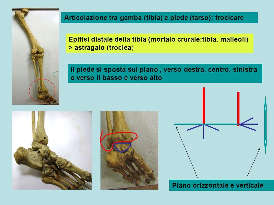 Articolazione tra gamba (tibia) e piede (tarso): trocleare Epifisi distale della tibia (mortaio crurale:tibia, malleoli) > astragalo (troclea) Il pied