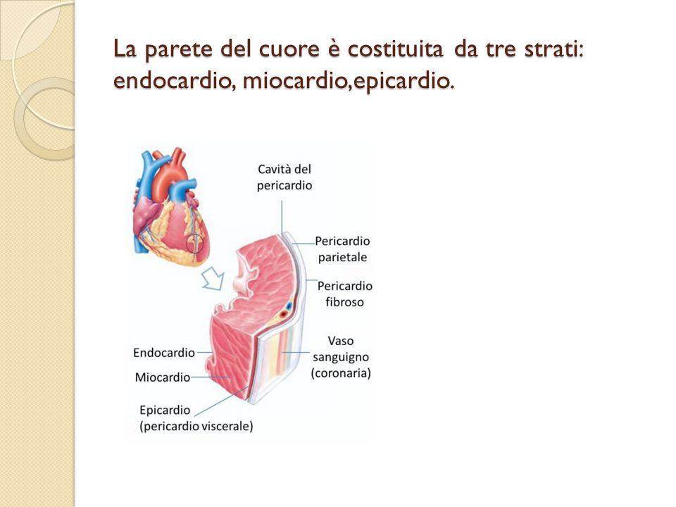 La parete del cuore è costituita da tre strati: endocardio, miocardio,epicardio.
