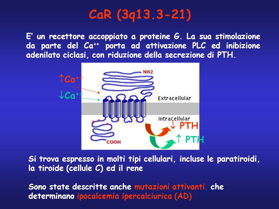 CaR (3q13.3-21) E' un recettore accoppiato a proteine G. La sua stimolazione da parte del Ca ++ porta ad attivazione PLC ed inibizione adenilato cicla