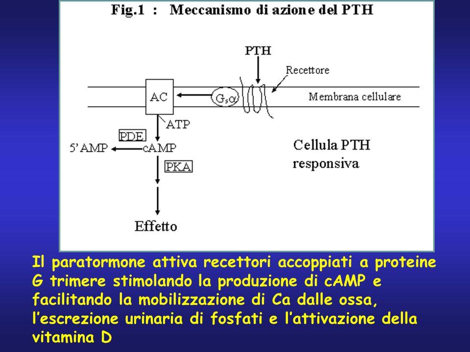 Il paratormone attiva recettori accoppiati a proteine G trimere stimolando la produzione di cAMP e facilitando la mobilizzazione di Ca dalle ossa, l'e