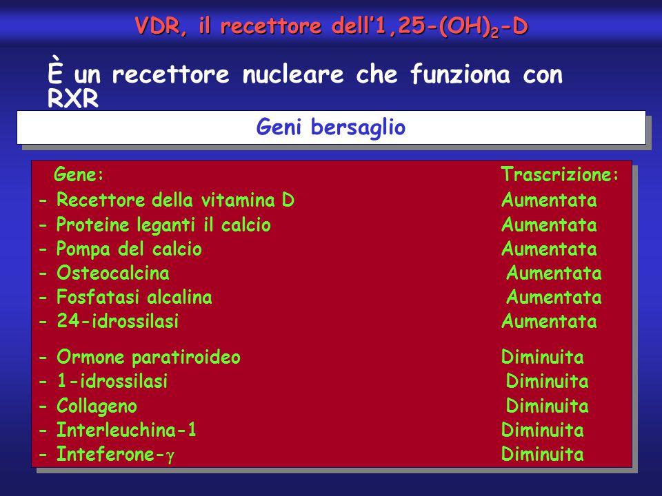 È un recettore nucleare che funziona con RXR Geni bersaglio Gene:Trascrizione: - Recettore della vitamina DAumentata - Proteine leganti il calcioAumen