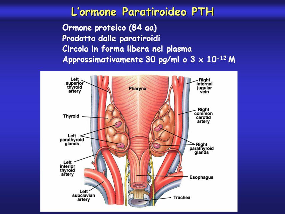 La CALCITONINA abbassa la concentrazione plasmatica di ioni Ca ++ in due modi -Riduce l'attività degli osteoclasti, riducendo il riassorbimento e favorendo la deposizione nell'osso del Ca ++ rapidamente scambiabile -Riduce la formazione di nuovi osteoclasti L'effetto dell'ormone nell'adulto è scarso poiché l'abbassamento del Ca ++ induce una potente azione del PTH, inoltre nell'adulto la deposizione e il riassorbimento del Ca ++ giornaliero è scarso