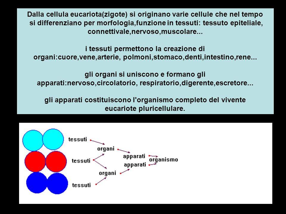 Dalla cellula eucariota(zigote) si originano varie cellule che nel tempo si differenziano per morfologia,funzione in tessuti: tessuto epiteliale, conn