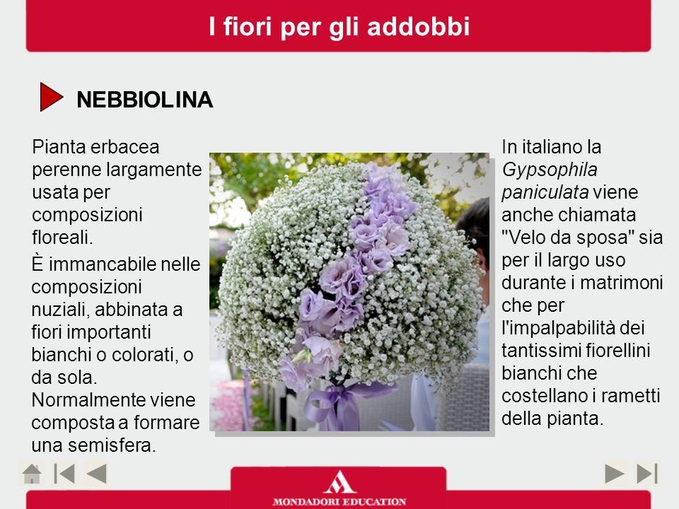 NEBBIOLINA Pianta erbacea perenne largamente usata per composizioni floreali.