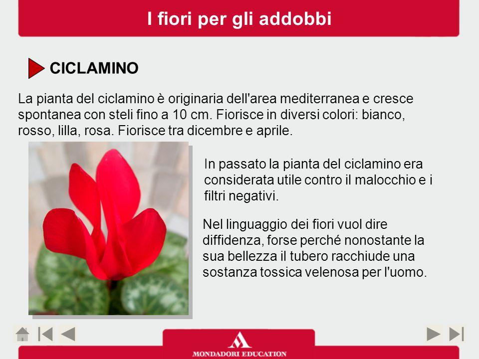 CICLAMINO La pianta del ciclamino è originaria dell area mediterranea e cresce spontanea con steli fino a 10 cm.
