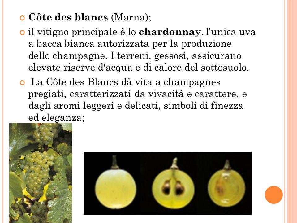 Côte des blancs (Marna); il vitigno principale è lo chardonnay, l'unica uva a bacca bianca autorizzata per la produzione dello champagne. I terreni, g