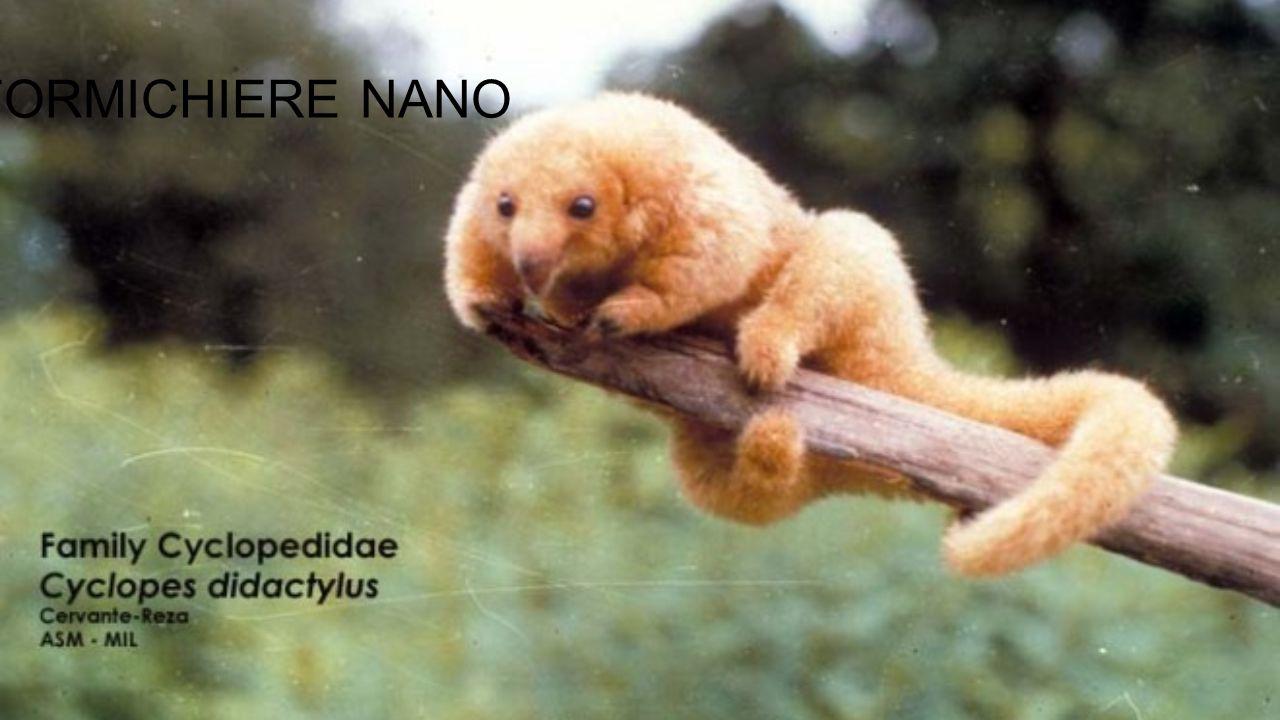 Il formichiere nano è un mammifero dell'ordine dei pilosa (assieme al bradipo e al formichiere).