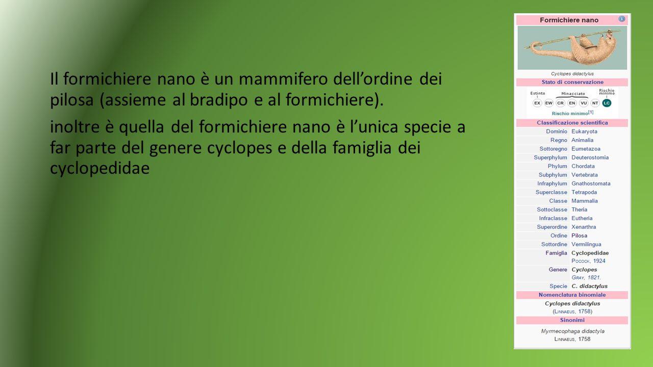 Il formichiere nano è un mammifero dell'ordine dei pilosa (assieme al bradipo e al formichiere). inoltre è quella del formichiere nano è l'unica speci
