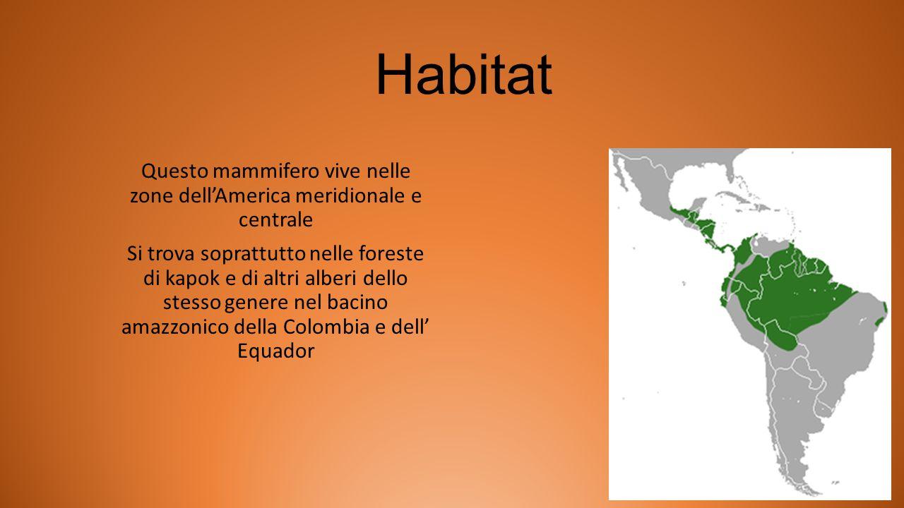 Habitat Questo mammifero vive nelle zone dell'America meridionale e centrale Si trova soprattutto nelle foreste di kapok e di altri alberi dello stess