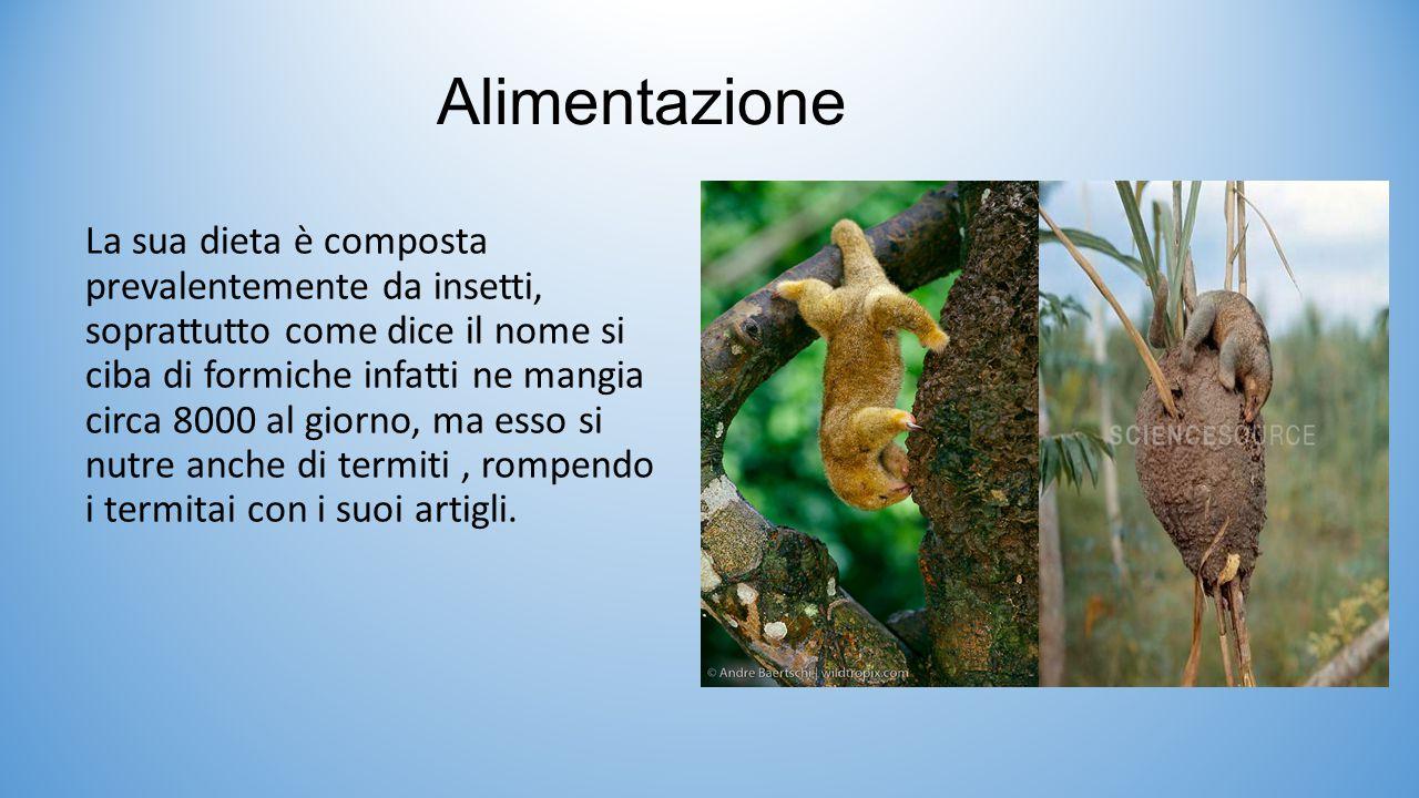Alimentazione La sua dieta è composta prevalentemente da insetti, soprattutto come dice il nome si ciba di formiche infatti ne mangia circa 8000 al gi