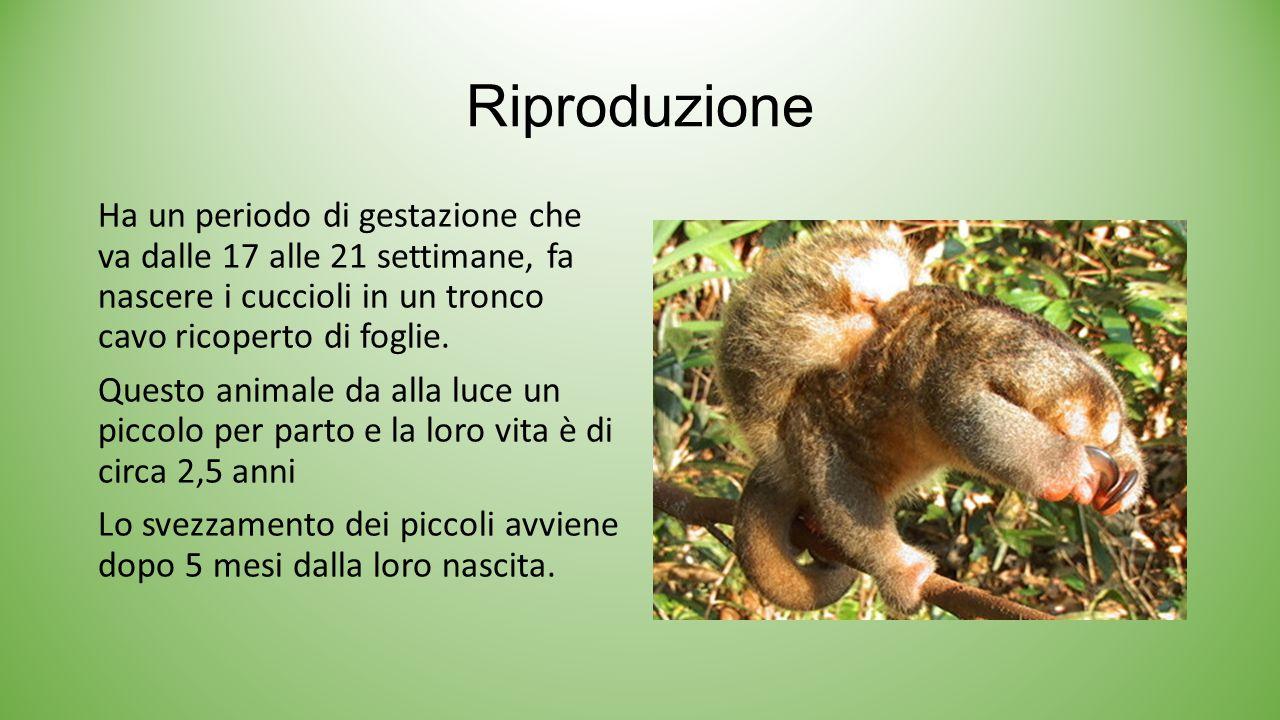 Riproduzione Ha un periodo di gestazione che va dalle 17 alle 21 settimane, fa nascere i cuccioli in un tronco cavo ricoperto di foglie. Questo animal