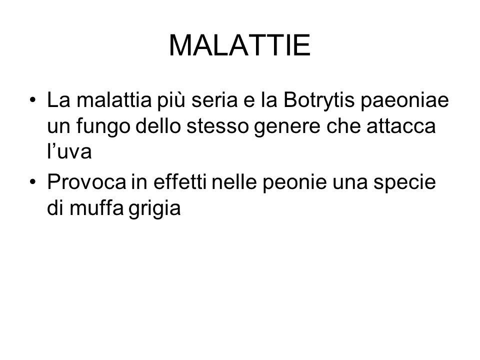 MALATTIE La malattia più seria e la Botrytis paeoniae un fungo dello stesso genere che attacca l'uva Provoca in effetti nelle peonie una specie di muffa grigia