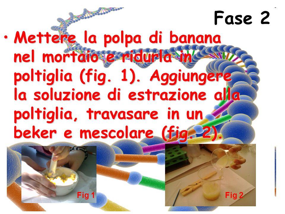 Fase 2 Mettere la polpa di banana nel mortaio e ridurla in poltiglia (fig. 1). Aggiungere la soluzione di estrazione alla poltiglia, travasare in un b