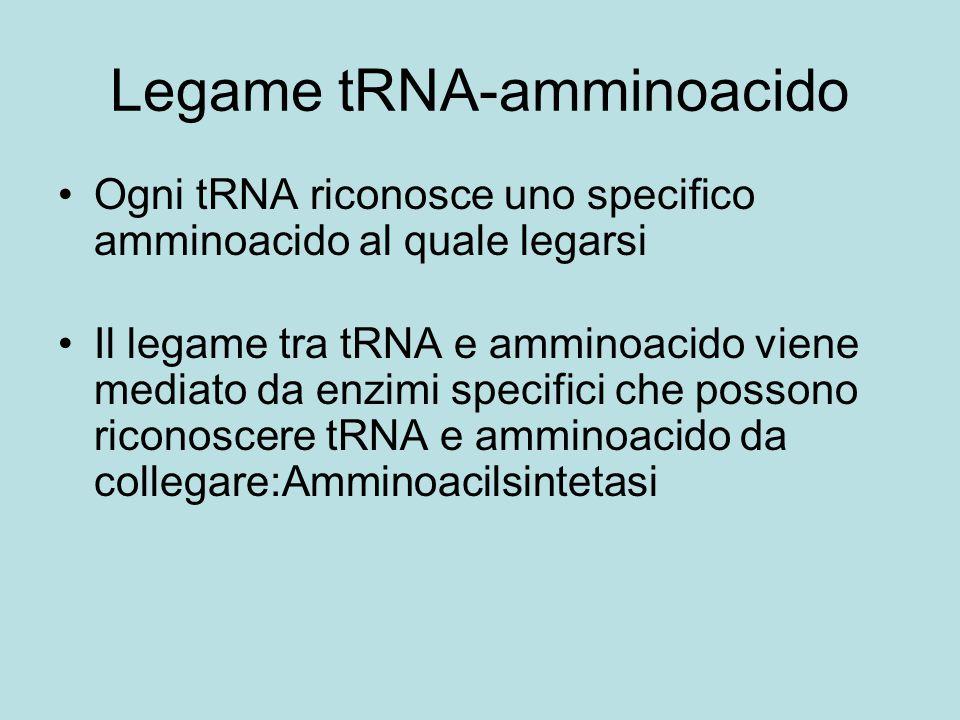 Legame tRNA-amminoacido Ogni tRNA riconosce uno specifico amminoacido al quale legarsi Il legame tra tRNA e amminoacido viene mediato da enzimi specif
