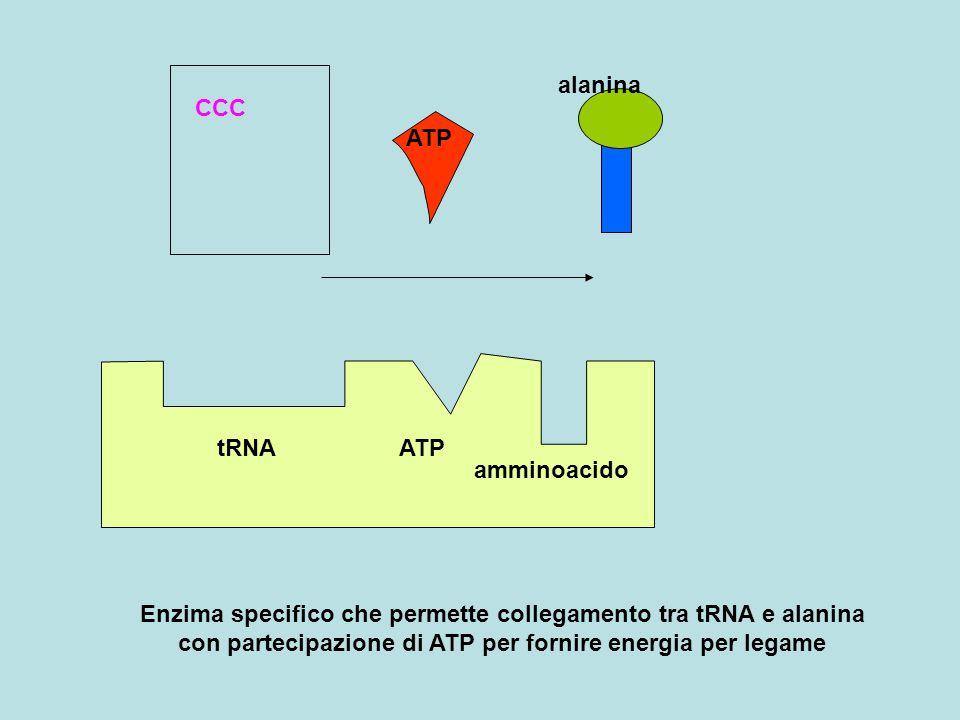 tRNAATP amminoacido CCC ATP alanina Enzima specifico che permette collegamento tra tRNA e alanina con partecipazione di ATP per fornire energia per legame