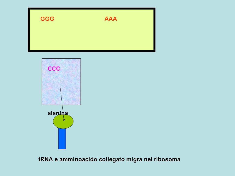 tRNA e amminoacido collegato migra nel ribosoma GGG AAA CCC alanina