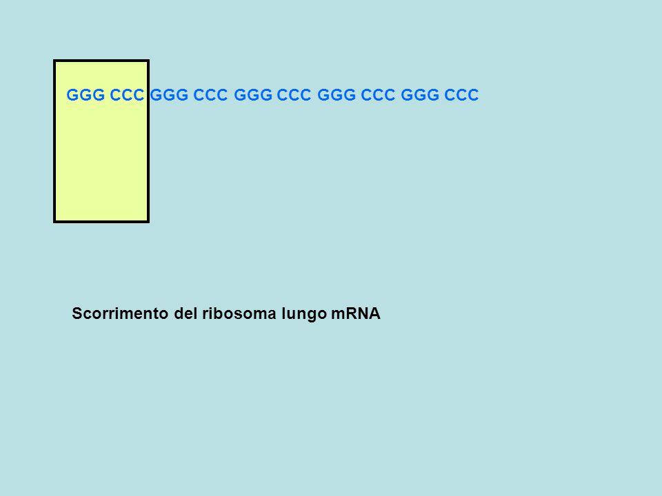GGG CCC GGG CCC GGG CCC GGG CCC GGG CCC Scorrimento del ribosoma lungo mRNA