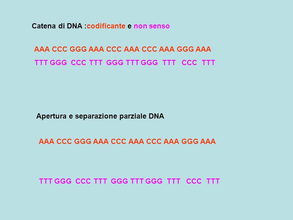 Catena di DNA :codificante e non senso AAA CCC GGG AAA CCC AAA CCC AAA GGG AAA TTT GGG CCC TTT GGG TTT GGG TTT CCC TTT Apertura e separazione parziale DNA AAA CCC GGG AAA CCC AAA CCC AAA GGG AAA TTT GGG CCC TTT GGG TTT GGG TTT CCC TTT