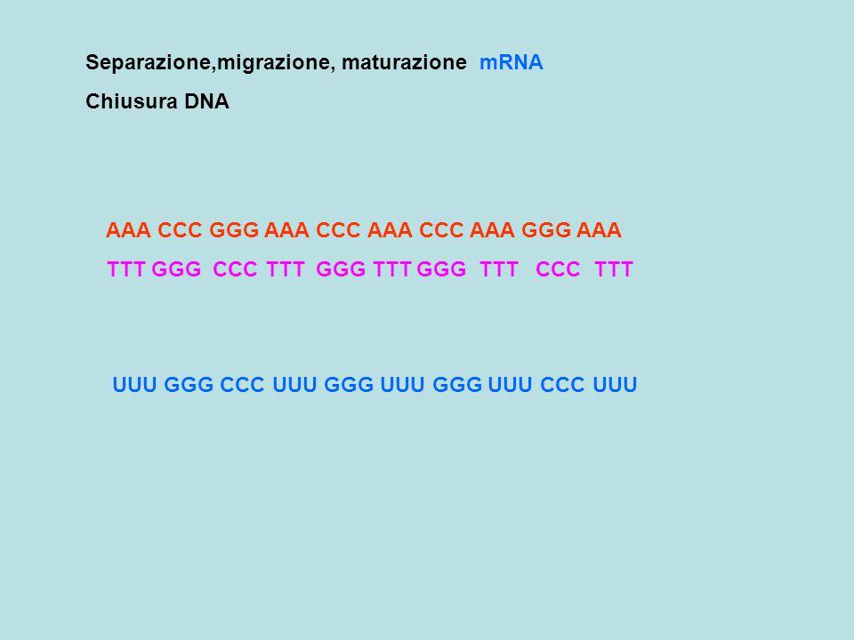 AAA CCC GGG AAA CCC AAA CCC AAA GGG AAA TTT GGG CCC TTT GGG TTT GGG TTT CCC TTT Separazione,migrazione, maturazione mRNA Chiusura DNA UUU GGG CCC UUU GGG UUU GGG UUU CCC UUU