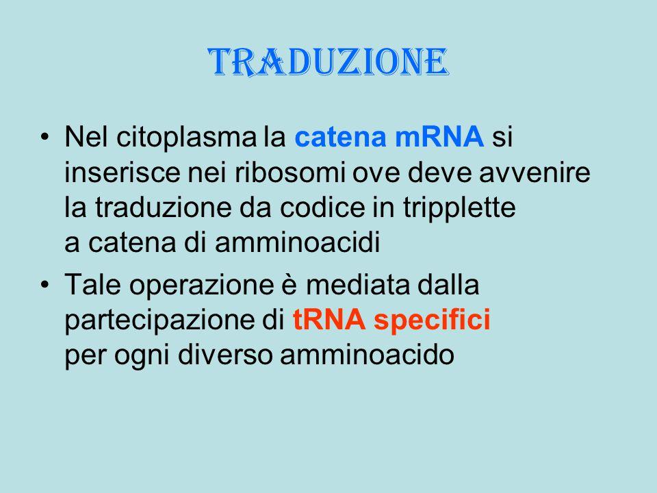 traduzione Nel citoplasma la catena mRNA si inserisce nei ribosomi ove deve avvenire la traduzione da codice in tripplette a catena di amminoacidi Tal