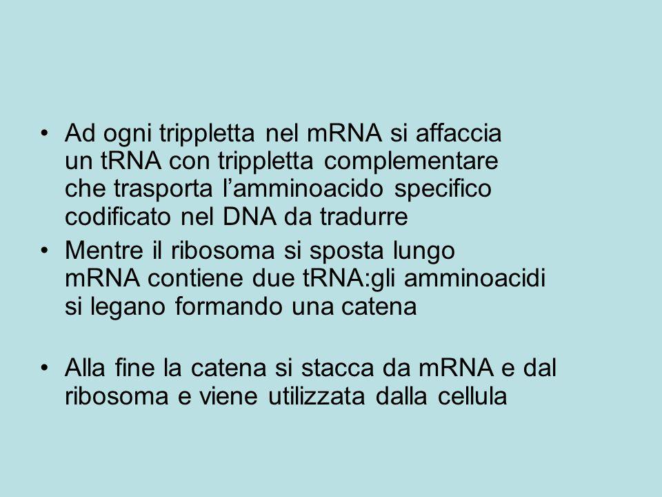 Ad ogni trippletta nel mRNA si affaccia un tRNA con trippletta complementare che trasporta l'amminoacido specifico codificato nel DNA da tradurre Mentre il ribosoma si sposta lungo mRNA contiene due tRNA:gli amminoacidi si legano formando una catena Alla fine la catena si stacca da mRNA e dal ribosoma e viene utilizzata dalla cellula